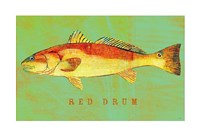 Red Drum Framed Print