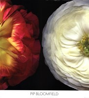 Ranunculus Left Fine Art Print