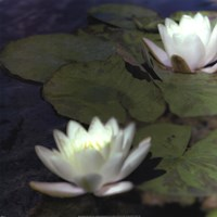Water Lillies I Fine Art Print