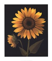 Sunflower II Fine Art Print