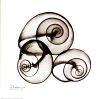 X-ray Snail Shells, Sepia Framed Print