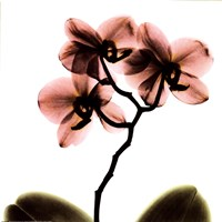 Crystal Flowers X-Ray, Orchid Fine Art Print
