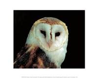 Barn Owl Portrait Fine Art Print