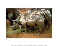 Black Rhinoceros in Africa Fine Art Print