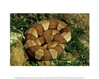 Broad Banded Copperhead Coiled Snake Fine Art Print