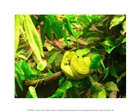 Green Tree Python Snake Fine Art Print