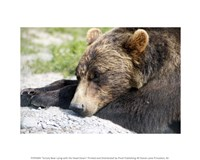 Grizzly Bear Lying with His Head Down Fine Art Print