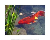Red Goldfish Fine Art Print