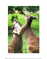 Playful Kangaroos Framed Print