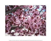 Pink Cherry Blossoms Fine Art Print