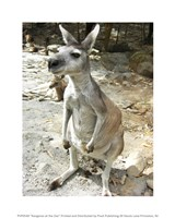 Kangaroo at the Zoo Framed Print