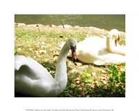 Swans by the Lake Fine Art Print