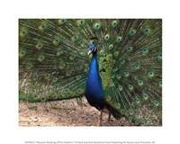 Peacock Showing off Its Feathers Fine Art Print