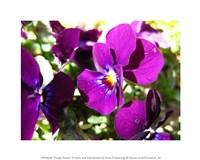Purple Pansy Fine Art Print