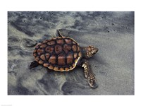 Loggerhead Turtle (Yearling) Fine Art Print
