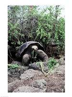 Galapagos Giant Tortoise eating grass Fine Art Print