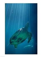 Green Sea Turtle - underwater Fine Art Print