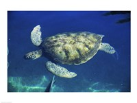 Green Sea Turtle swimming Fine Art Print