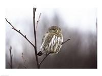 Pygmy Owl Fine Art Print