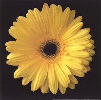 Gerbera Daisy Yellow Framed Print