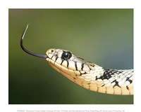 European Grass Snake Closeup of Face Fine Art Print