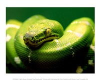 Light Green Emerald Tree Boa Snake Framed Print