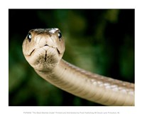 The Black Mamba Snake Fine Art Print