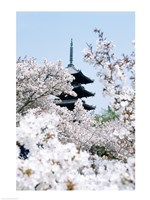Cherry Blossom trees, Kyoto, Honshu, Japan Fine Art Print