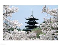 Cherry Blossoms Ninna-Ji Temple Grounds Kyoto Japan Framed Print