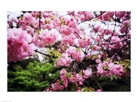 Close-up of cherry blossoms, Sumida River, Asakusa, Tokyo, Japan Fine Art Print