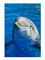 Dolphin - in the water Fine Art Print