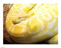 Albino Burmese Python Fine Art Print