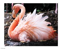 Broedende Rode Flamingo Fine Art Print