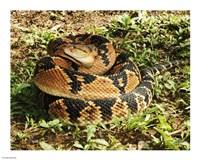 Bushmaster Snake Fine Art Print
