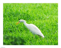 Egret In Field Fine Art Print