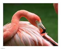 Flamingo Grooming Fine Art Print