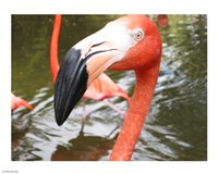Florida Flamingo Fine Art Print