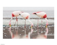 Flamingos Searching for Food Fine Art Print