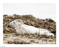 Harbor Seal Pup Fine Art Print