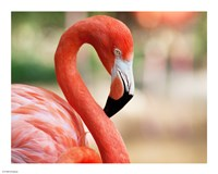 Phoenicopterus Chilensis Fort Worth Zoo, Texas, USA Fine Art Print