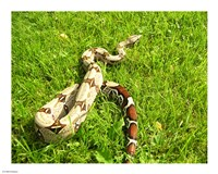 Red Tail Boa Constrictor Framed Print