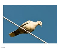 The Early Evening Eurasian Collared Dove Fine Art Print