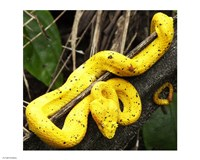 Yellow Eyelash Viper Fine Art Print