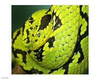 Yellow Blotched Palm Viper Fine Art Print