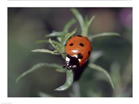 Close-up of a ladybug on leaves Fine Art Print