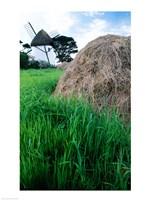 Traditional windmill in a field, Tacumshane Windmill, Tacumshane, Ireland Fine Art Print