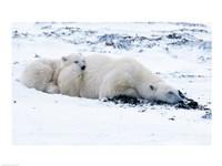 Polar bear with Cub, Cape Churchill, Manitoba, Canada Fine Art Print