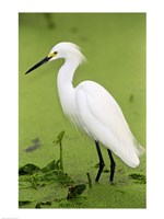 Close-up of a Snowy Egret Wading in Water Fine Art Print