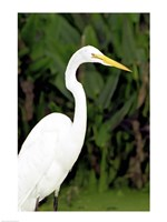 Close-up of a Great Egret Fine Art Print