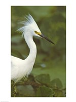 Close-up of a Snowy Egret Fine Art Print